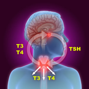3d illustration of the thyroid gland and pituitary gland part of the endocrine system