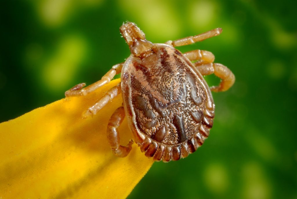 Tick sitting on a plant that contains Lyme Disease pathogen